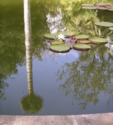lily pads on pond with tall tree reflecting on water